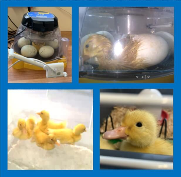 Fun with Ducklings at Small Haven School